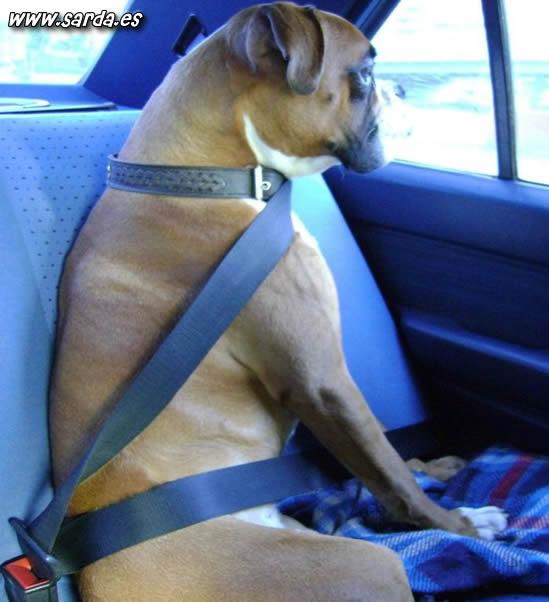 cinturones seguridad perros