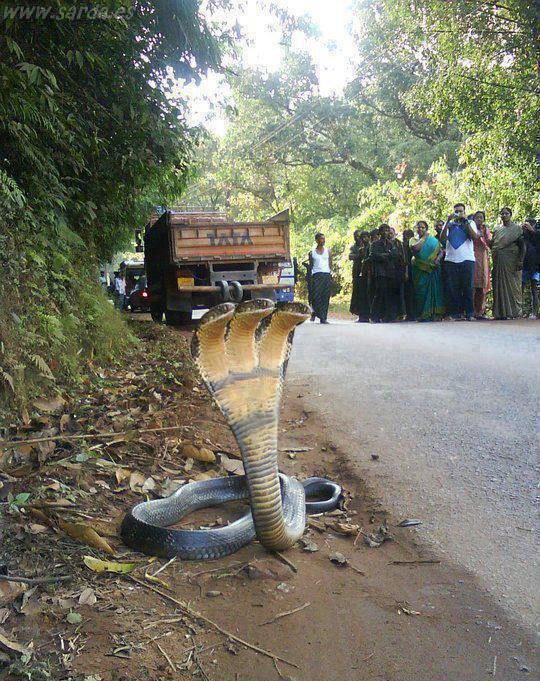 serpiente 3 cabezas, raro el animal