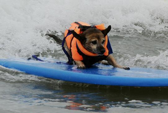 fotos perros haciendo surf