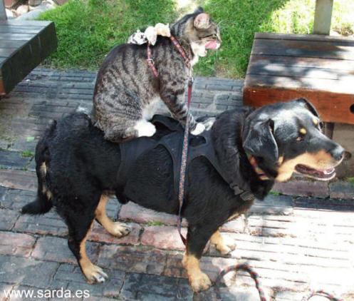 Como el perro el gato...